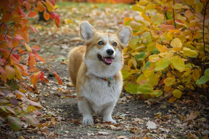 Corgi happy.