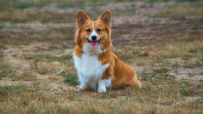 Corgis are supposed to have tails.