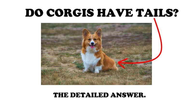 Do corgis have tails?