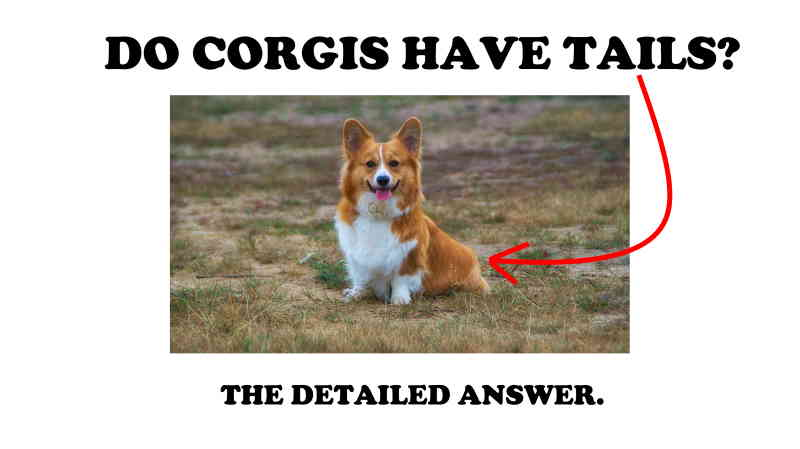 Do Corgis Have Tails Why Pembrokes Get Their Tails Docked Instacorgi